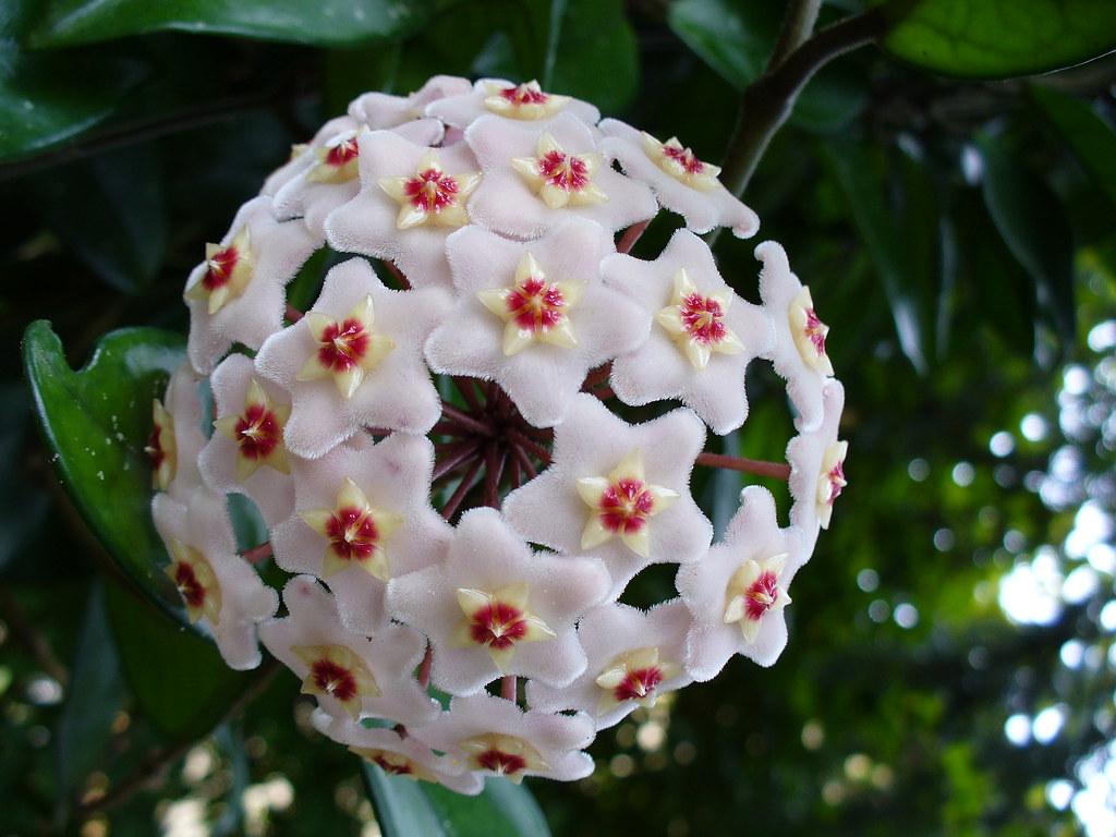Hoya australis - Pianta da interno